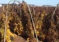 箕輪さんちの長芋~収穫直前の畑